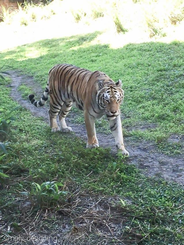 A Tiger in the Maharaja Jungle Trek at Animal Kingdom