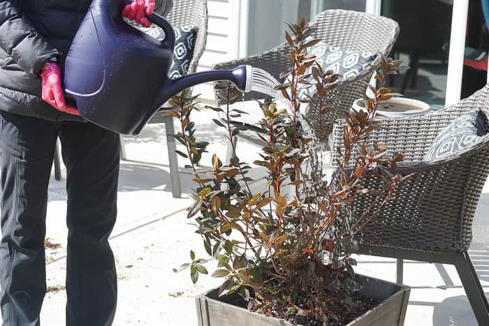 water your newly potted plant