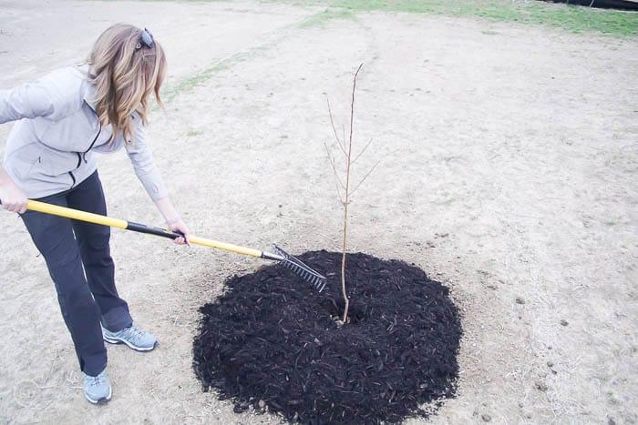 make mulch even - spread mulch around tree - how to plant a tree