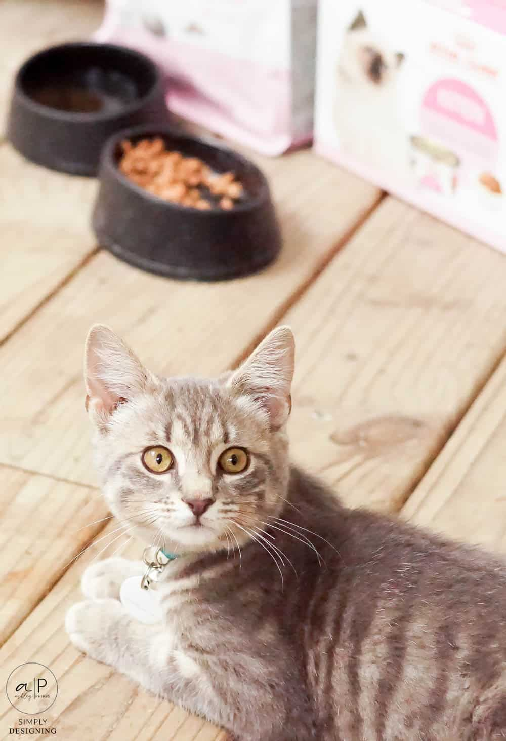 cat looking up at camera with food in the background